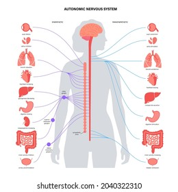 Sympathetic and parasympathetic nervous systems. Diagram of brain and nerves connection. Autonomic nervous system infographic poster. Spinal cord and internal organs in female body vector illustration