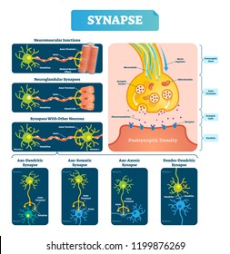 Synapse vector illustration. Labeled diagram with neuromuscular junction, glandular and other neirons example. Closeup with isolated axon, cleft and dendrite structure.