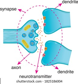 Synapses and glutamate neurotransmitters. Vector illustration for educational, biological