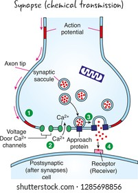 Synaptic transmission. Structure of a typical chemical synapse. Neurotransmitter release mechanisms.