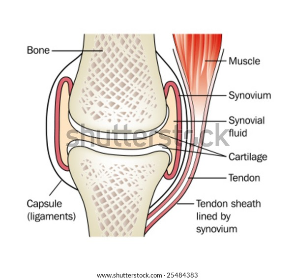 Synovial Joint Labeled Stock Vector Royalty Free 25484383