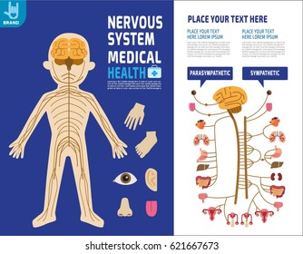 System nervous. Sympathetic system. Infographic element.