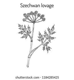 Szechwan lovage (ligusticum wallichii), medicinal plant. Hand drawn botanical vector illustration