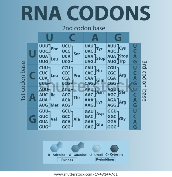 table-rna-codons-genetic-biological-600w