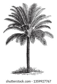 A tall slim tree with thick coarse leaves.  vintage line drawing or engraving illustration.