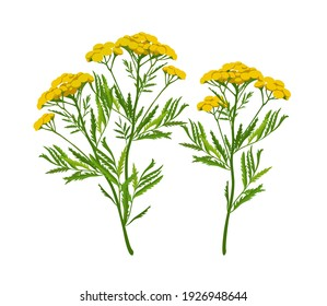Tansy. A flowering herbaceous medicinal plant with yellow inflorescences and green leaves. Vector image isolated on a white background. For packaging in pharmaceutical products and other design projec