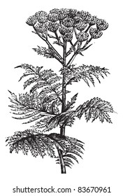 Tansy (Tanacetum vulgare) or Common Tansy or Bitter Buttons or Cow Bitter or Mugwort or Golden Buttons, vintage engraved illustration. Tansy isolated on white. Trousset encyclopedia (1886 - 1891).