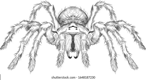 tarantula spider black and white vector black and white coloring sketch scary Halloween