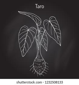 Taro (Colocasia esculenta), eatable and medicinal plant. Hand drawn botanical vector illustration