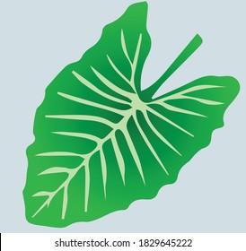 Taro Kalo Leaves Colocasia Tropical Leaves Esculenta Root vegetable Gabi Flat Concept Vector Illustration