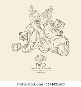 Taro: taro root, leaves and taro slice. Colocasia esculenta. Vector hand drawn illustration.