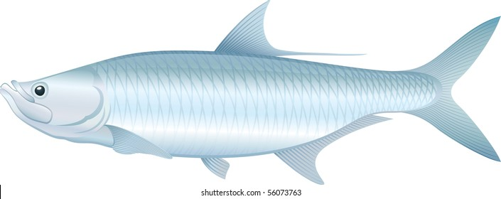 Tarpon (Megalops atlanticus) saltwater fish.