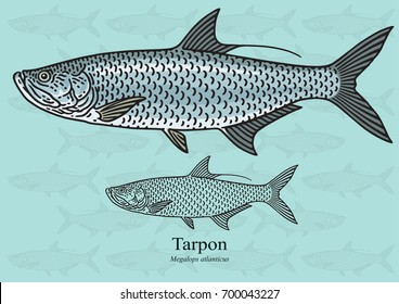 Tarpon. Vector illustration with refined details and optimized stroke that allows the image to be used in small sizes (in packaging design, decoration, educational graphics, etc.)