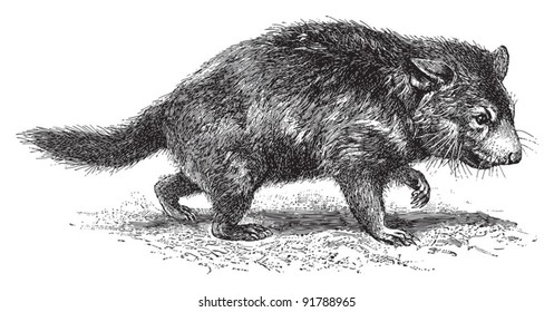 Tasmanian devil (Diabolus ursinus) / vintage illustration from Meyers Konversations-Lexikon 1897
