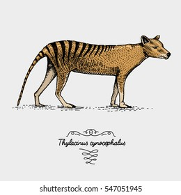 Tasmanian wolf Thylacinus cynocephalus engraved, hand drawn vector illustration in woodcut scratchboard style, vintage drawing australian extinct species.