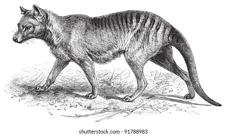 Tasmanian wolf (Thylacinus cynocephalus) / vintage illustration from Meyers Konversations-Lexikon 1897