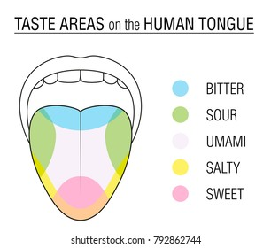 Taste areas of the human tongue - colored division with zones of taste buds for bitter, sour, sweet, salty and umami perception - educational, schematic vector illustration on white background.
