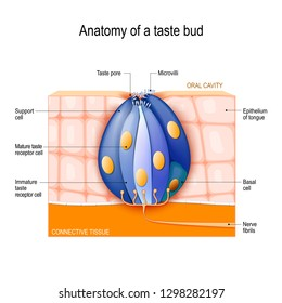 Taste bud. Mature and Immature taste Receptor, Support and Basal Cells, Epithelium Of tongue. Human Anatomy. Vector diagram for educational, biological, science and medical use