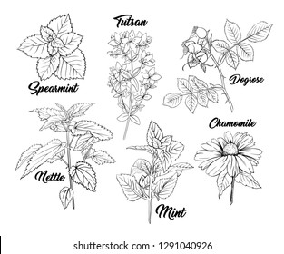 Tea Herbs Botany Plants Engraving Set. Sketch Isolated Hand Drawn Contour Illustration of Stinning Daisy or Chamomile Flower. Dogrose, Mint, Tutsan Herb. Herbal Medicine Nettle. Aromatherapy on White