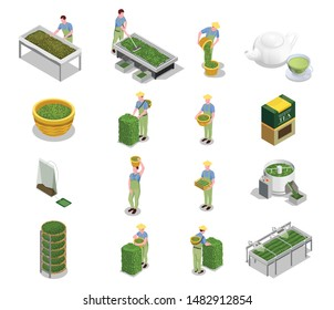 Tea industry production isometric icons set with harvesting leaves withering drying grading fermenting rolling brewing vector illustration
