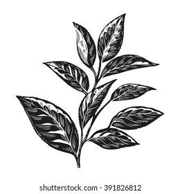 Tea leaves vintage engraving vector illustration. Tea plant.