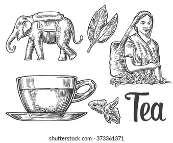 Tea picker woman, leaves, cup, elephant.  Engraving vintage vector black illustration. Isolated on white background. Hand drawn design element for label and poster