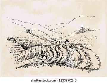tea plantation hand drawing, vintage landscape