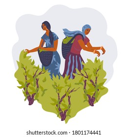 Tea plantation scene with two women picking green tea leaves, flat vector illustration isolated on white background. Harvesting the leaves of the tea bush image for package.