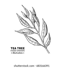 Tea tree vector drawing. Isolated vintage  illustration of medical plant leaves on branch. Organic essential oil engraved style sketch. Beauty and spa, cosmetic  ingredient.