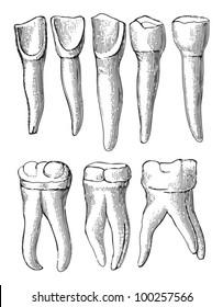 Teeth collection / vintage illustration from Die Frau als hausarztin 1911