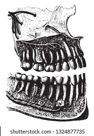 The teeth of man seen in profile, with their roots, their vessels and their nerves, vintage engraved illustration. Zoology Elements from Paul Gervais.