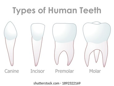 Teeth types. Four types of human tooth. Incisors, chisel-shaped front, cutting. Canines, tearing and grasping food. Premolars, crushing, tearing. Molars, grinding and chewing. Illustration Vector