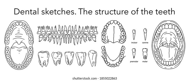 Teething. Structure of teeth in an adult. Types of teeth. Big set of dental sketches. The structure of the teeth. Outline elements.