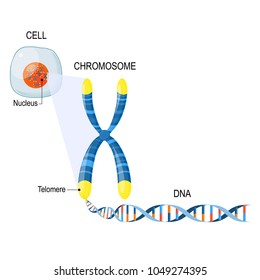 Telomere is a repeating sequence of double-stranded DNA located at the ends of chromosomes. Each time a cell divides, the telomeres become shorter. Cell Structure