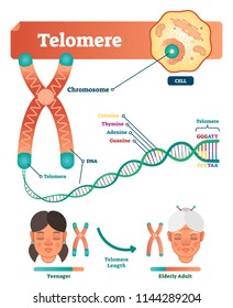 Telomere vector illustration. Educational and medical scheme with cell, chromosome and DNA. Labeled diagram with cytosine, thymine, adenine and guanine. Teenager length compared with elderly adult.