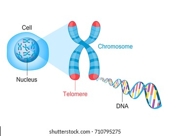 Telomeres are protective caps on the end of chromosomes. Cell, chromosome and DNA vector illustration