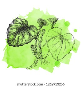Template card with medicinal herbs. Wild healing plants.  Coltsfoot. Vintage botanical hand drawing illustration. Engravings style. Pharmacy herbs. Sketch. Green watercolor stain.