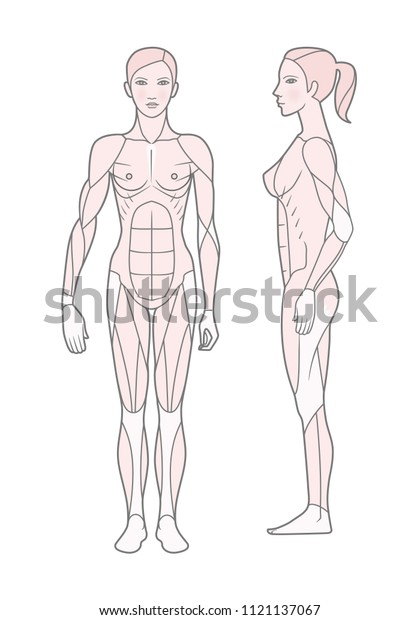 Template Scheme Muscular Sistem Woman Front Stock Vector (Royalty Free)  1121137067