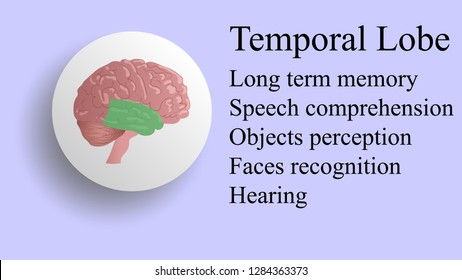 Temporal lobe vector. Brain lobes vector illustration. Human brain infographic vector. Brain lobes functions