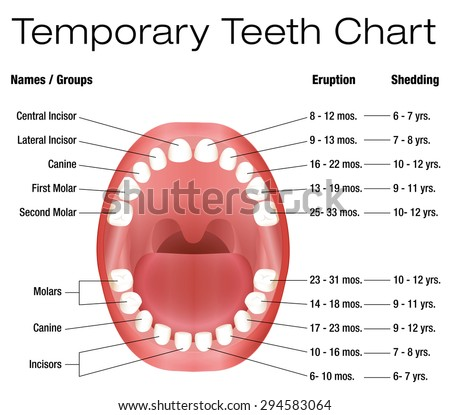 Temporary teeth names groups period eruption stock vector royalty temporary teeth names groups period eruption stock vector royalty free 294583064 shutterstock ccuart Image collections