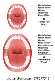 Permanent teeth images stock photos vectors shutterstock temporary teeth permanent teeth number of milk teeth and adult teeth isolated vector ccuart Image collections