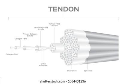 tendon anatomy vector