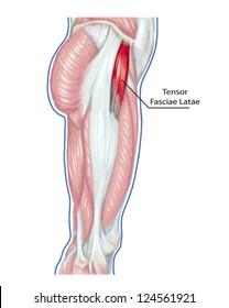 Tensor Fasciae Latae  - didactic board of anatomy of leg human muscular system