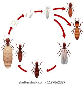 A termite life cycle illustration