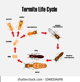termite life cycle,cartoon style,vector.