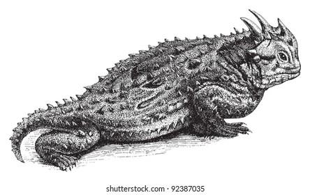 Texas horned lizard (Phrynosoma cornutum) / vintage illustration from Meyers Konversations-Lexikon 1897