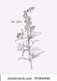 Thai basil vector. Hand drawn sketch leaves of spice thai basil.