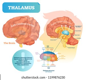 Thalamus vector illustration. Labeled medical diagram with brain structure. Educational scheme with isolated callosum, hippocampus, pituitary gland and medulla oblongata.