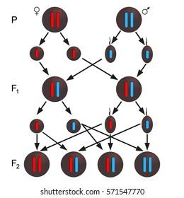 Thalassemia inheritance - described scheme. Medical icon set.