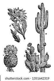 They are many types of cacti. a, Saguaro; b, Paddle Cactus; c, Fishhook Cactus; d, Orchid Cactus, vintage line drawing or engraving illustration.